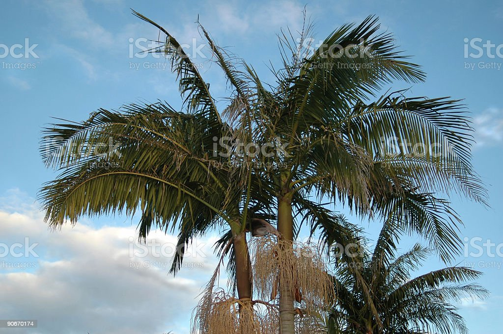 Palm trees flowering royalty-free stock photo