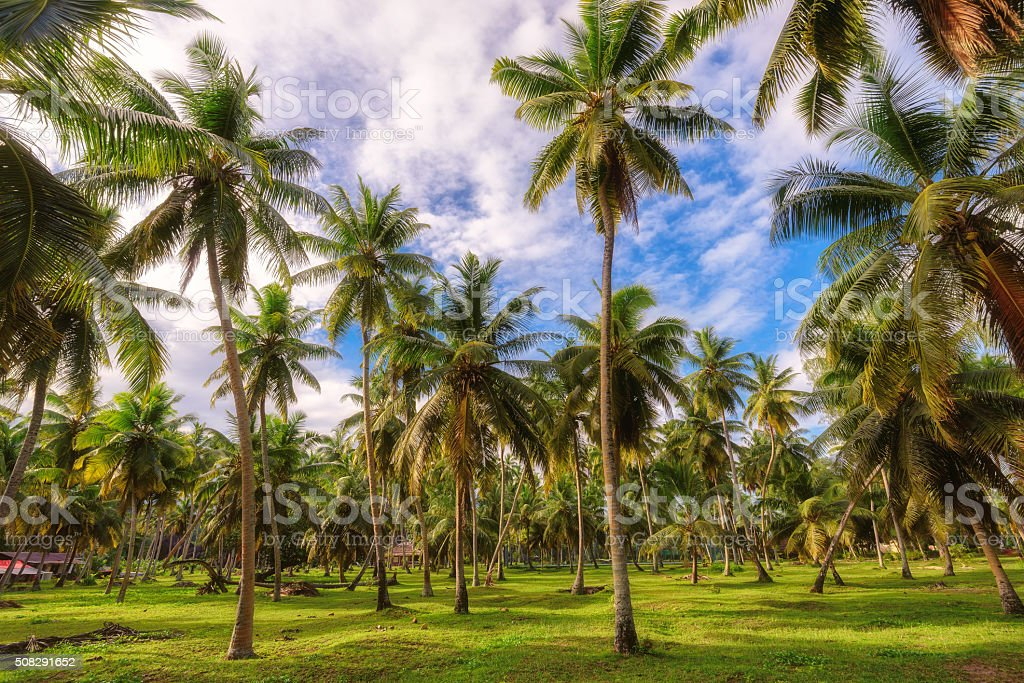 Palm trees forest at Seychelles, La Digue island stock photo