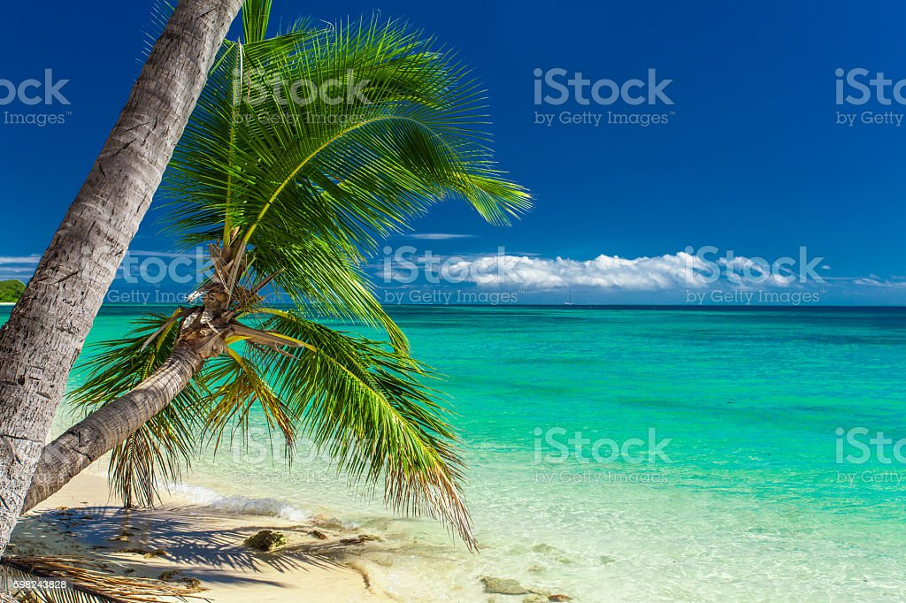 Palm trees hanging over tropical beach in Fiji stock photo