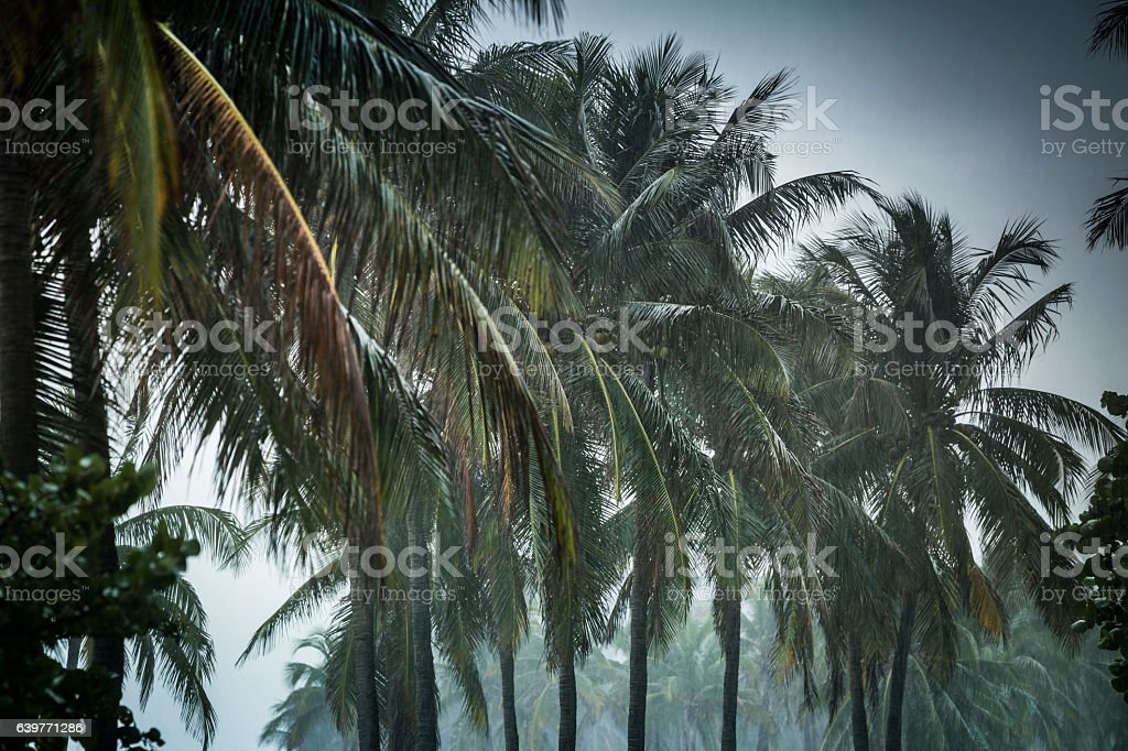Palm trees in a rain storm stock photo