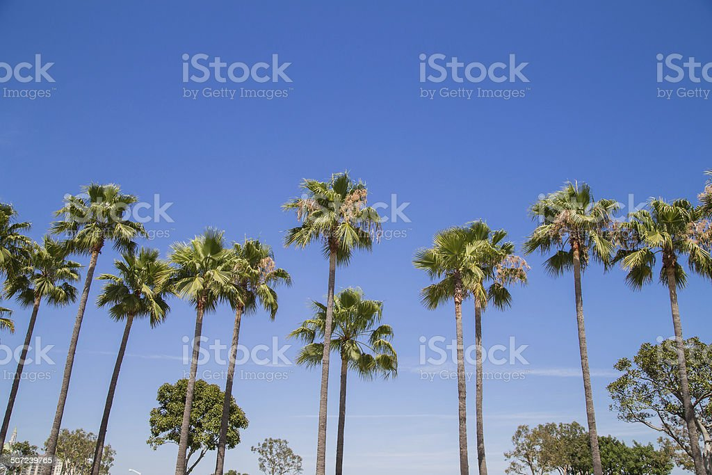 Palm trees in a row stock photo