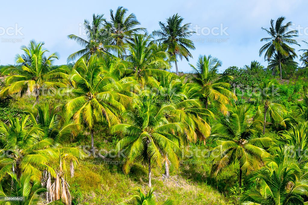 Palm Trees in Brazil stock photo