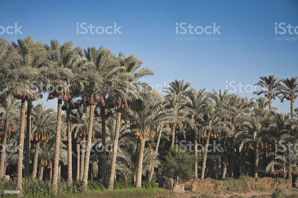Palm trees in Egypt stock photo