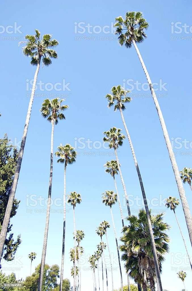 Palm Trees In Hollywood stock photo