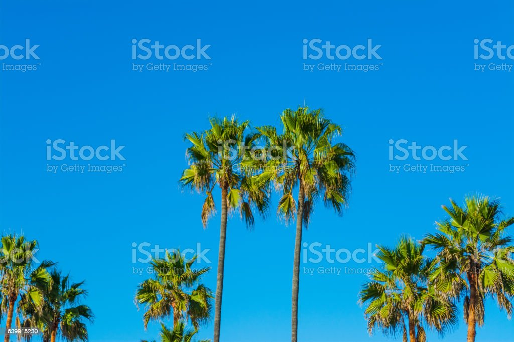 Palm trees in L.A. stock photo