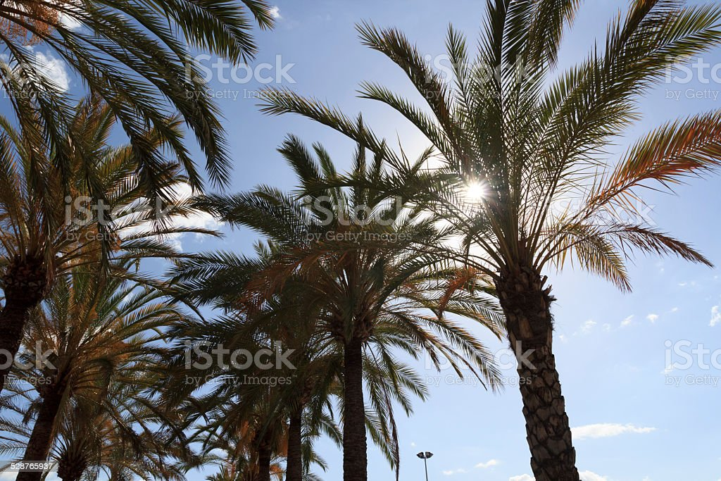 Palm trees in Majorca, Spain stock photo