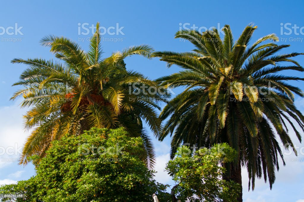 Palm trees in Nice. Cote d'Azur. Mediterranean resort. France. stock photo