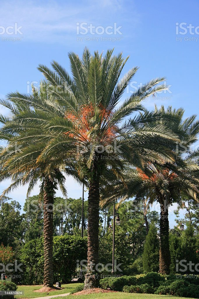 Palm Trees in Orlando Florida royalty-free stock photo