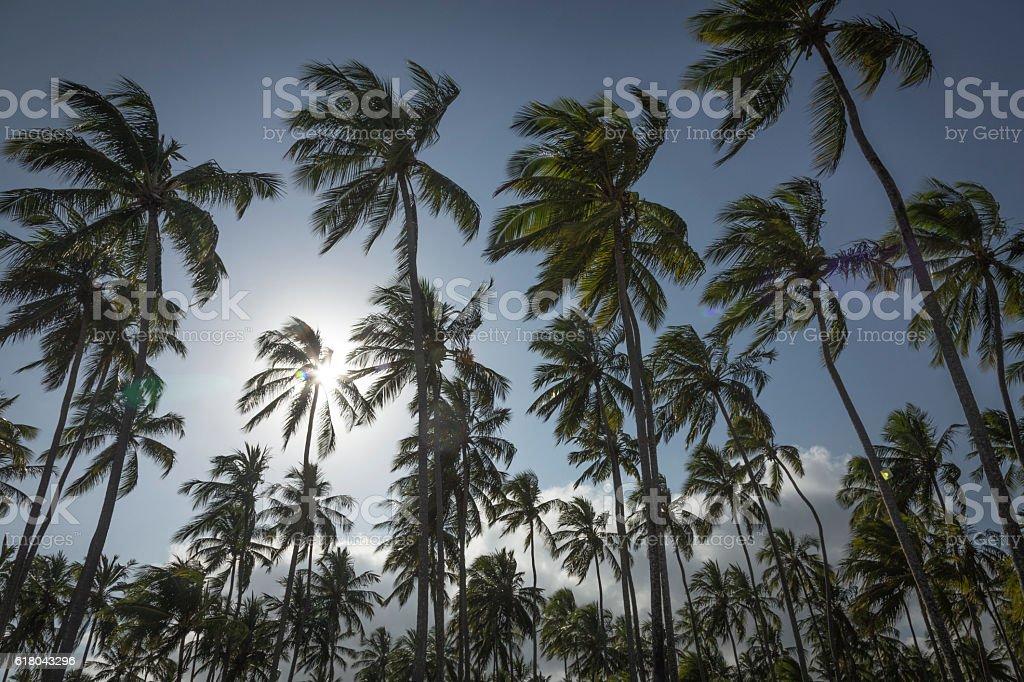 Palm trees in Porto de Galinhas, Recife, Pernambuco - Brazil stock photo