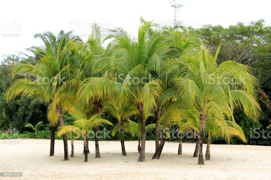 Palm trees in the island stock photo