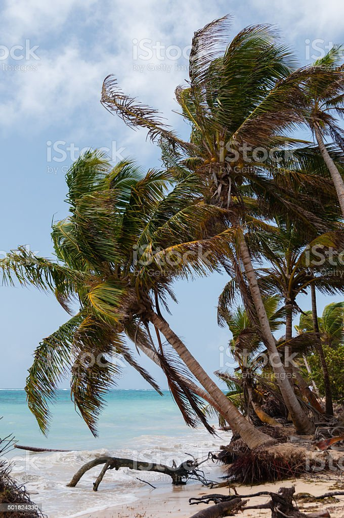 Palm Trees in the wind on caribbean white sand beach stock photo