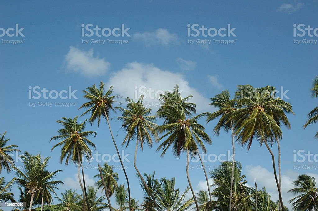 Palm Trees in Trinidad stock photo
