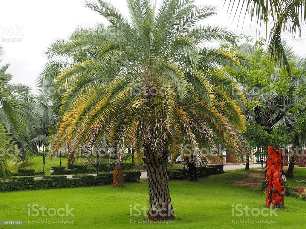 Palm trees in tropical Park stock photo