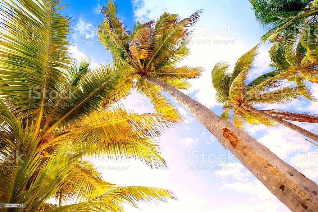 Palm trees, Miami, Florida, stock photo