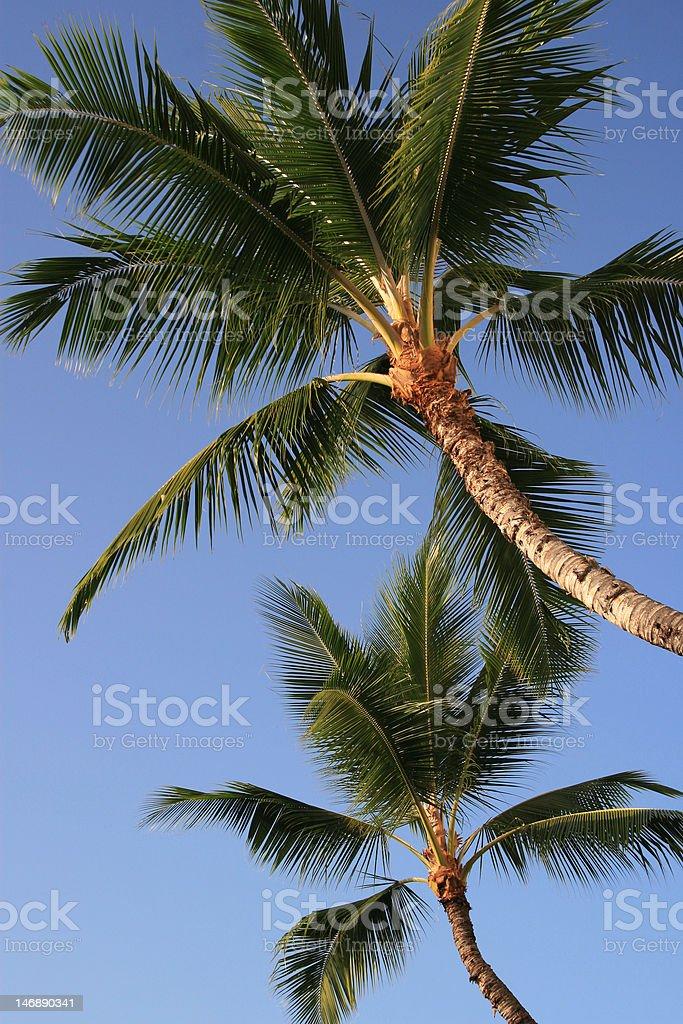 Palm trees of Kona stock photo