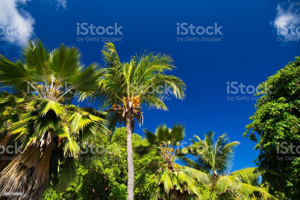Palm trees of Seychelles stock photo