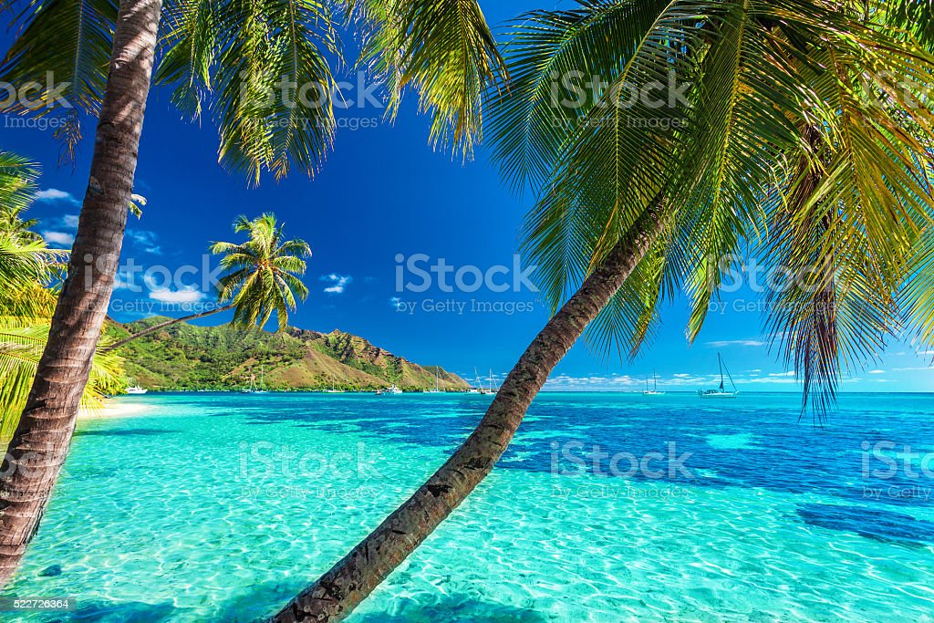 Palm trees on a tropical beach of Moorea, Tahiti stock photo