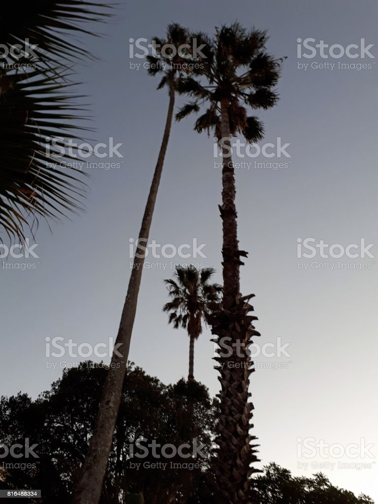 Palm trees on a winter morning stock photo