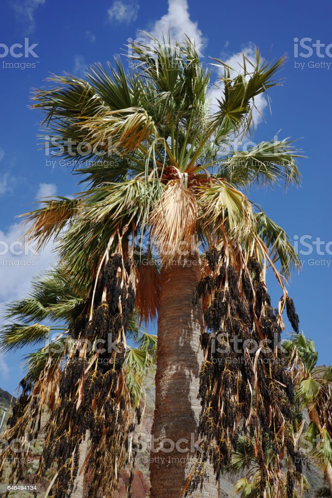 Palm trees on tropical beach Teresitas, Tenerife, Canary Islands in winter stock photo