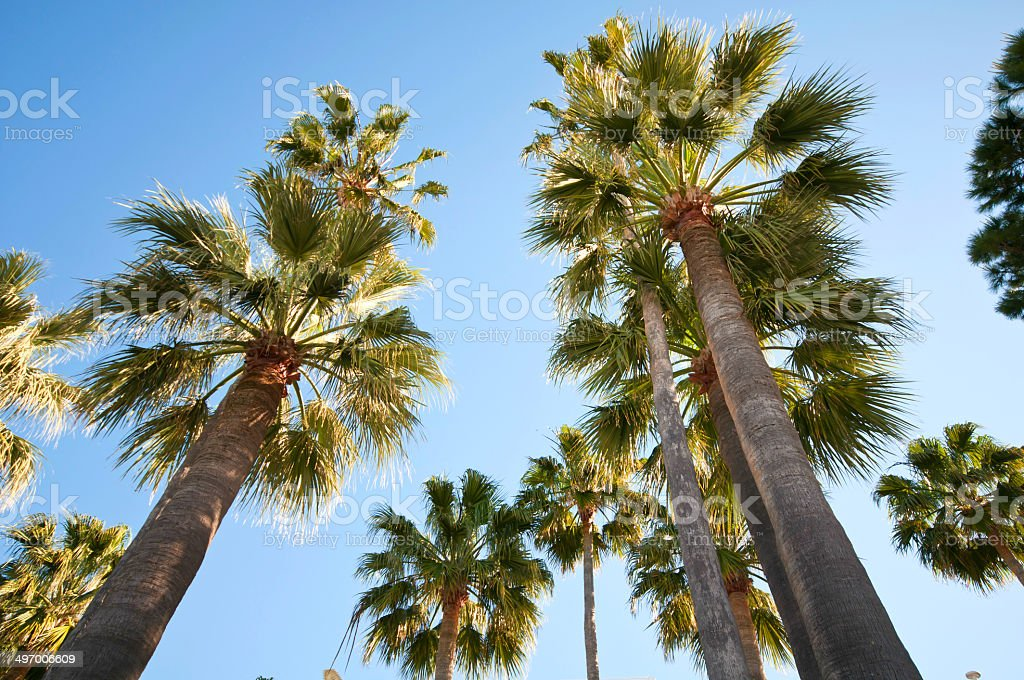 Palm trees over bright blue sky on a sunny morning stock photo