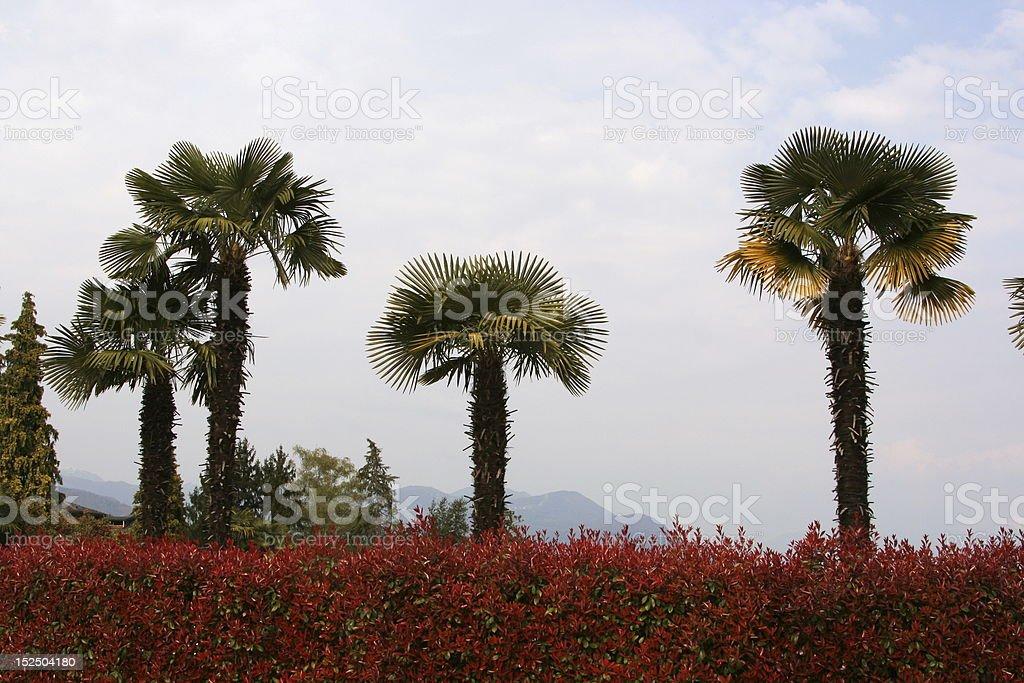 Palm Trees stock photo