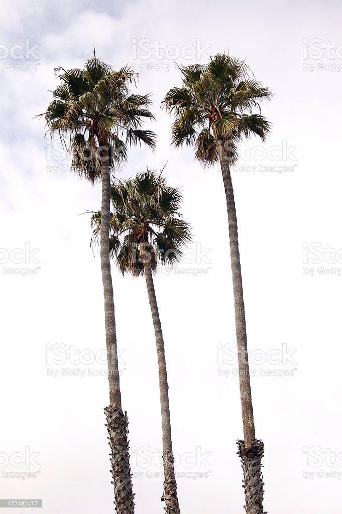 palm trees royalty-free stock photo