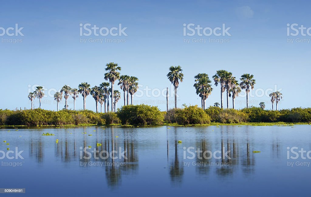 palm trees reflecting in the lake manze stock photo