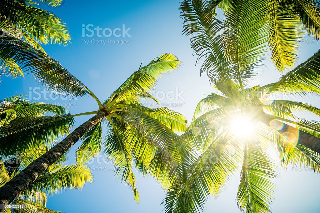 Palm Trees stretching into the sky stock photo