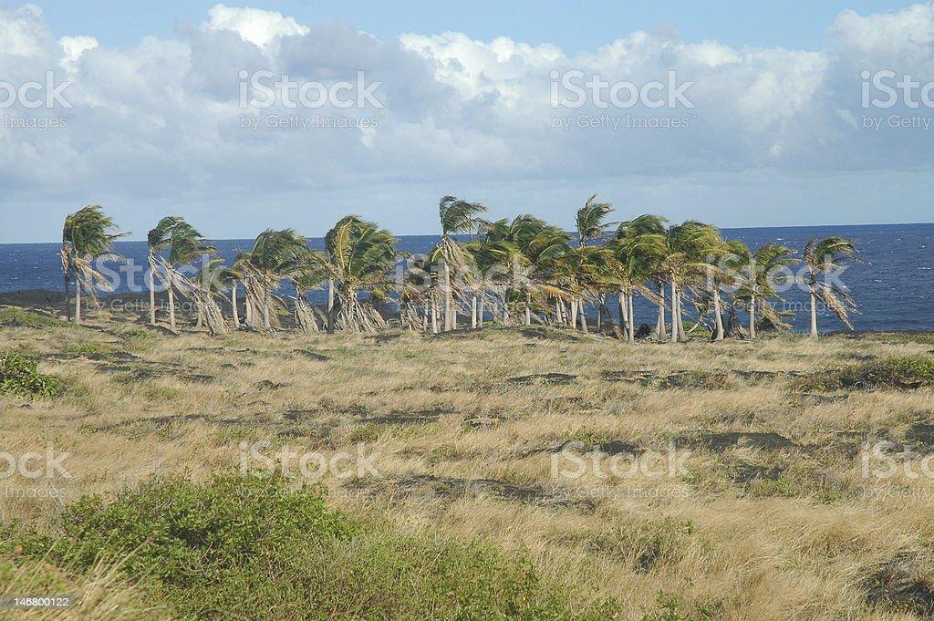 Palmiers qui se balancent au gré du vent photo libre de droits