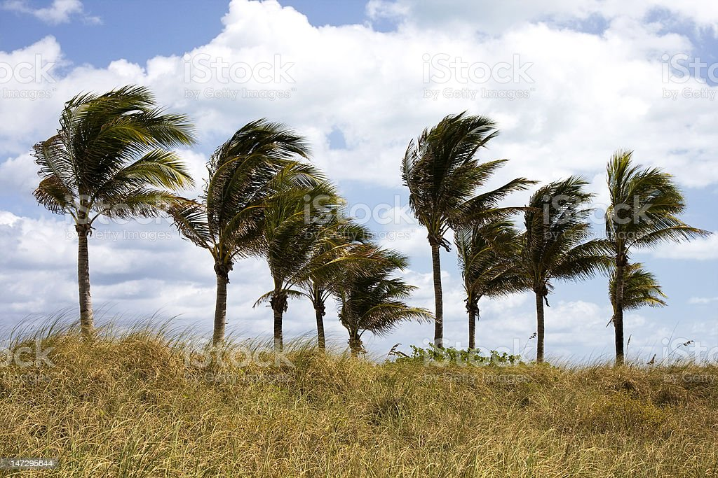 Palm trees swaying in the wind stock photo