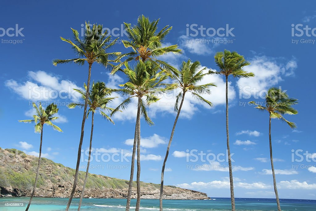 Palm trees with azure blue sky and clouds in background stock photo