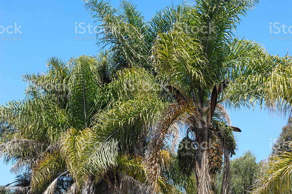 Palm Trees with Ripening Fruit royalty-free stock photo
