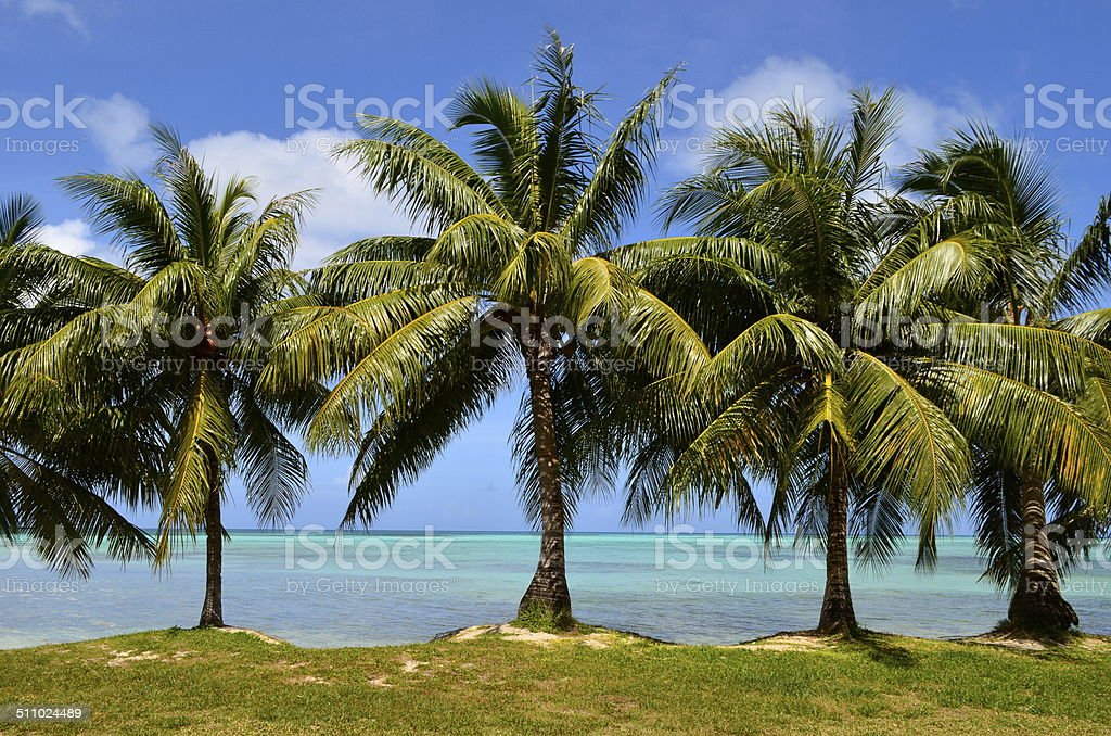 Palm tress at the beach stock photo