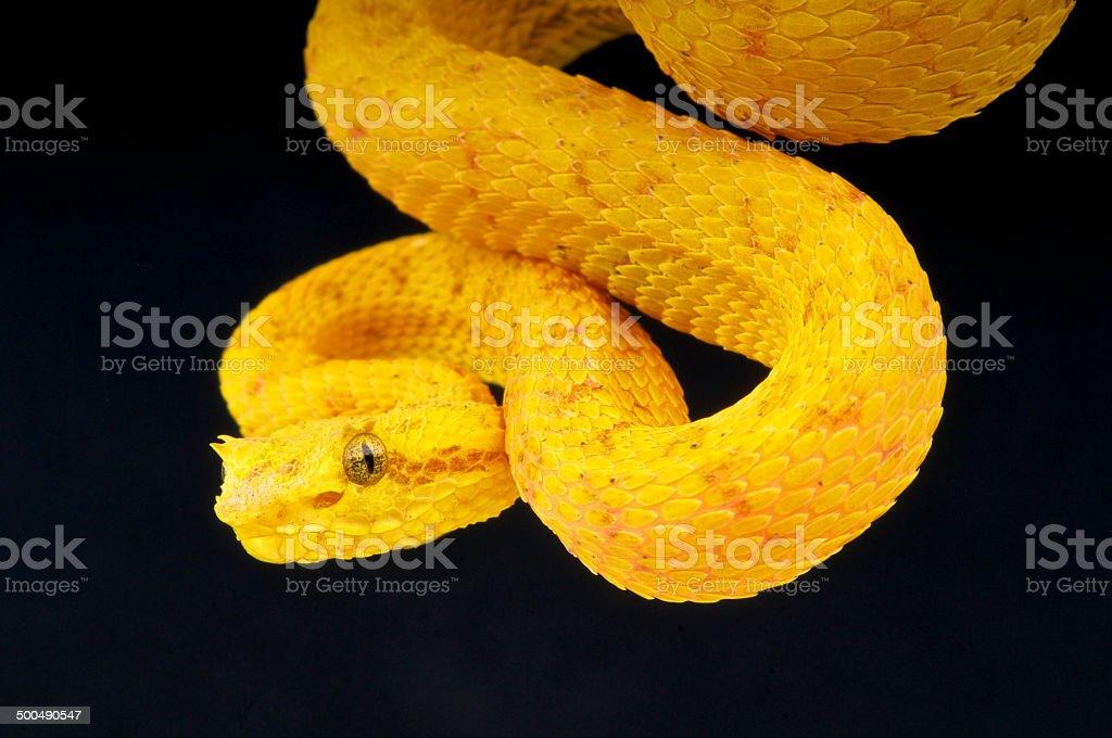 Palm viper / Bothriechis schlegelii stock photo