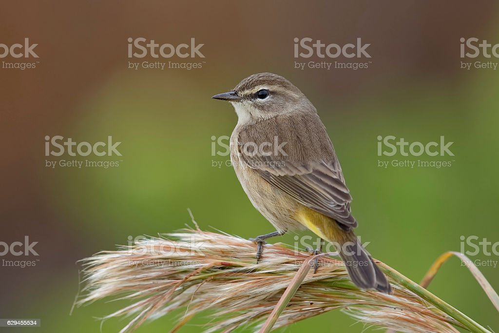 Palm Warbler in fall plumage - Florida stock photo