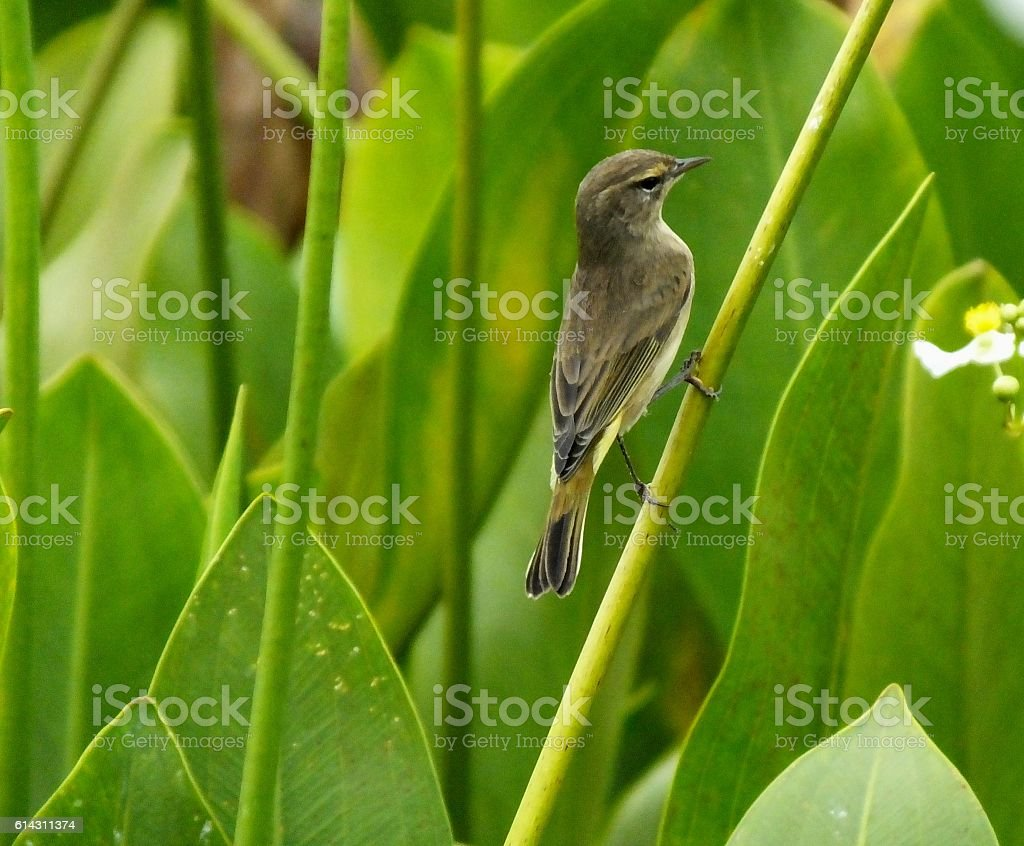 Palm Warbler  (Setophaga palmarum) stock photo