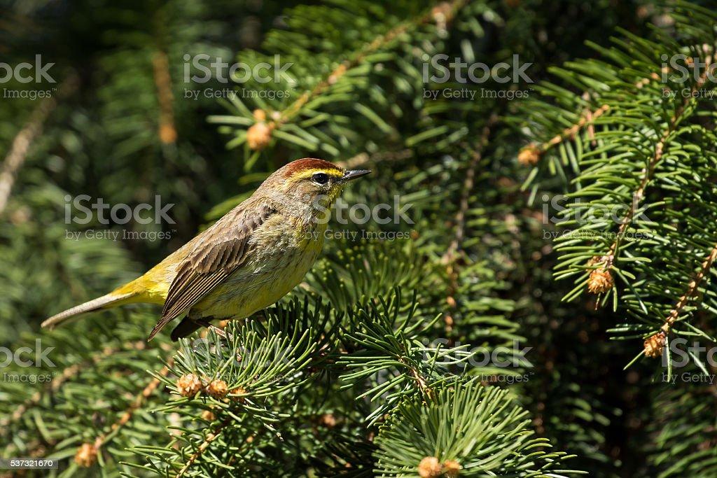 Palm Warbler - Setophaga palmarum stock photo