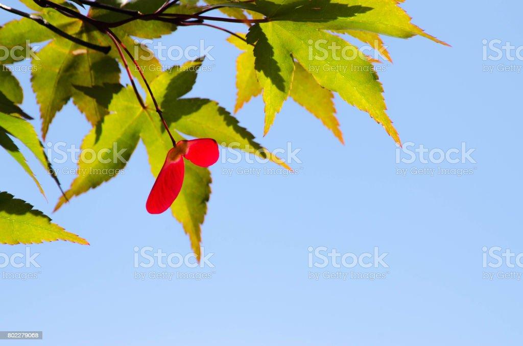 Palmate maple stock photo