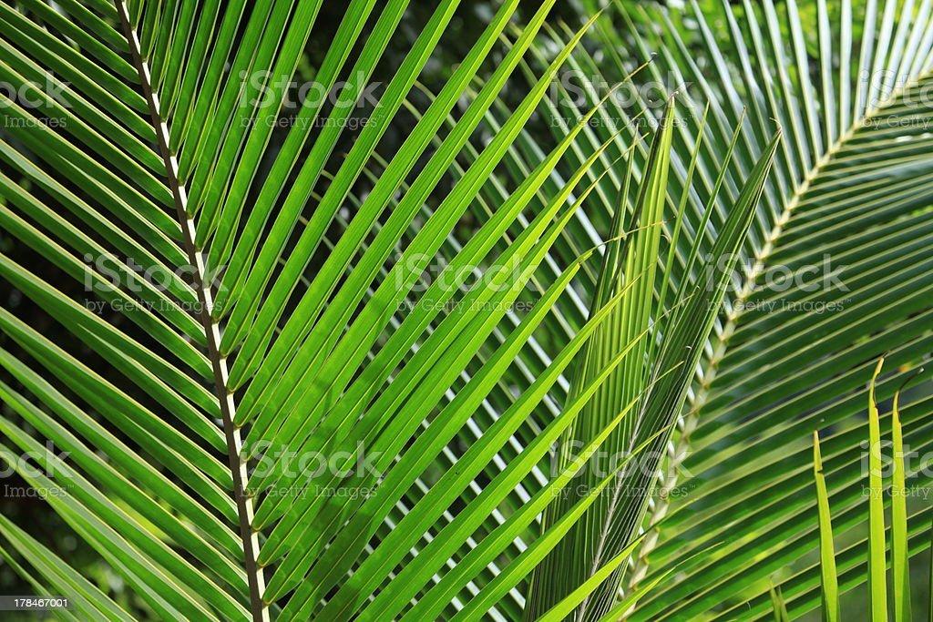 Palmenblatt stock photo