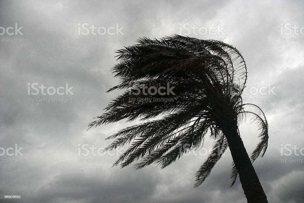 Palmera azotada por el viento stock photo