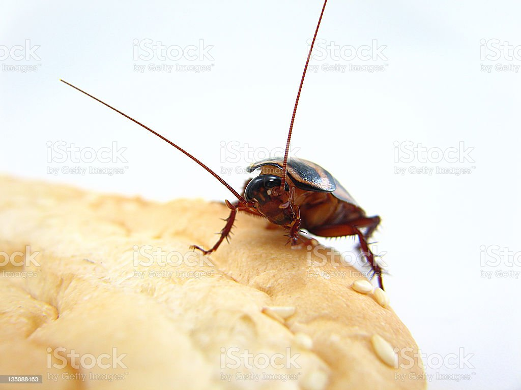 A Palmetto Roach climbing on some bread royalty-free stock photo