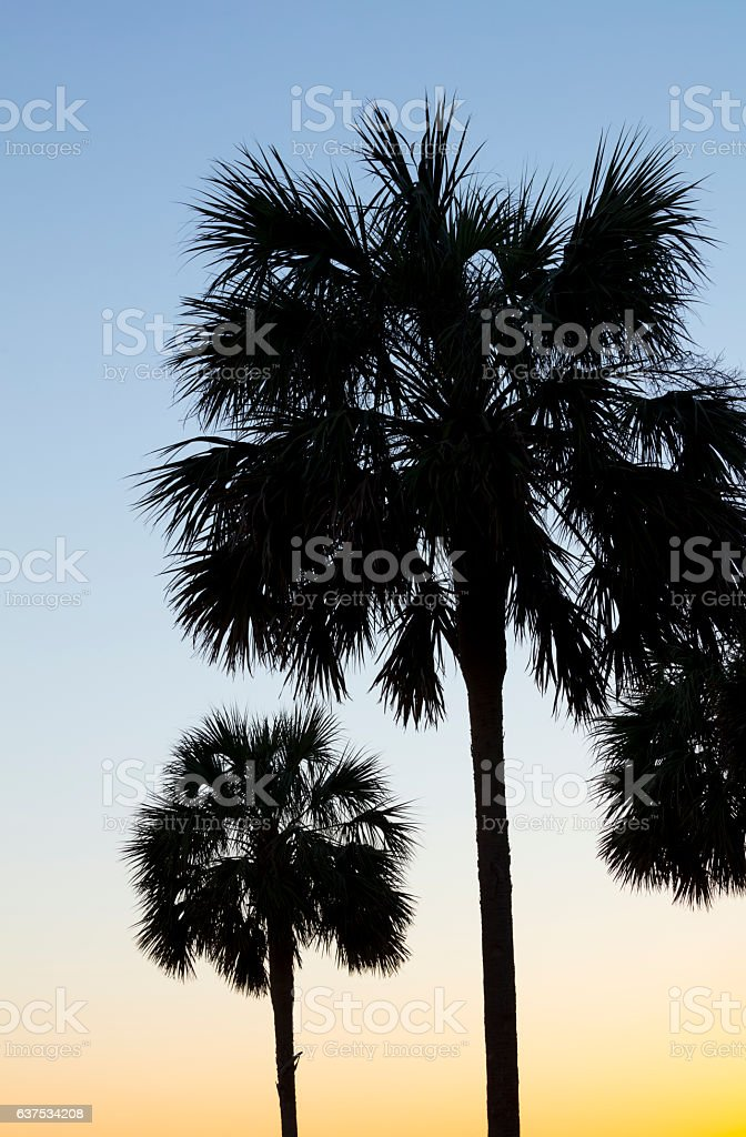 Palmetto Tree South Carolina stock photo