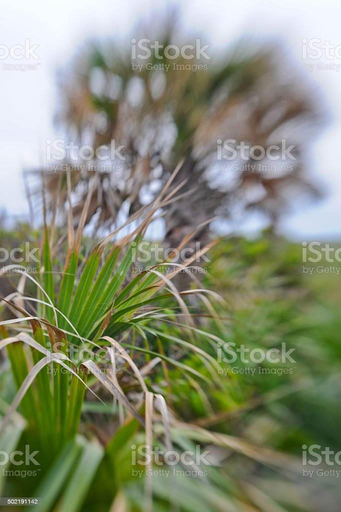 Palmettos and Palm Tree stock photo