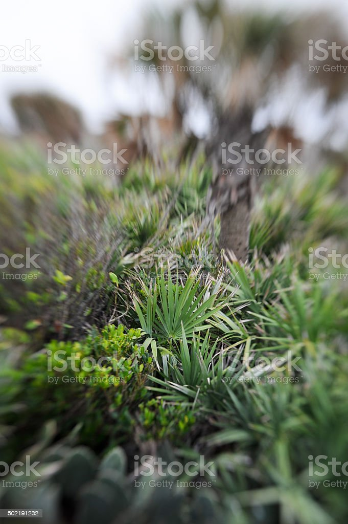 Palmettos, Dune Plants, and Palm Tree stock photo