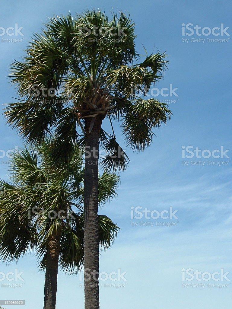 Palmettos stock photo