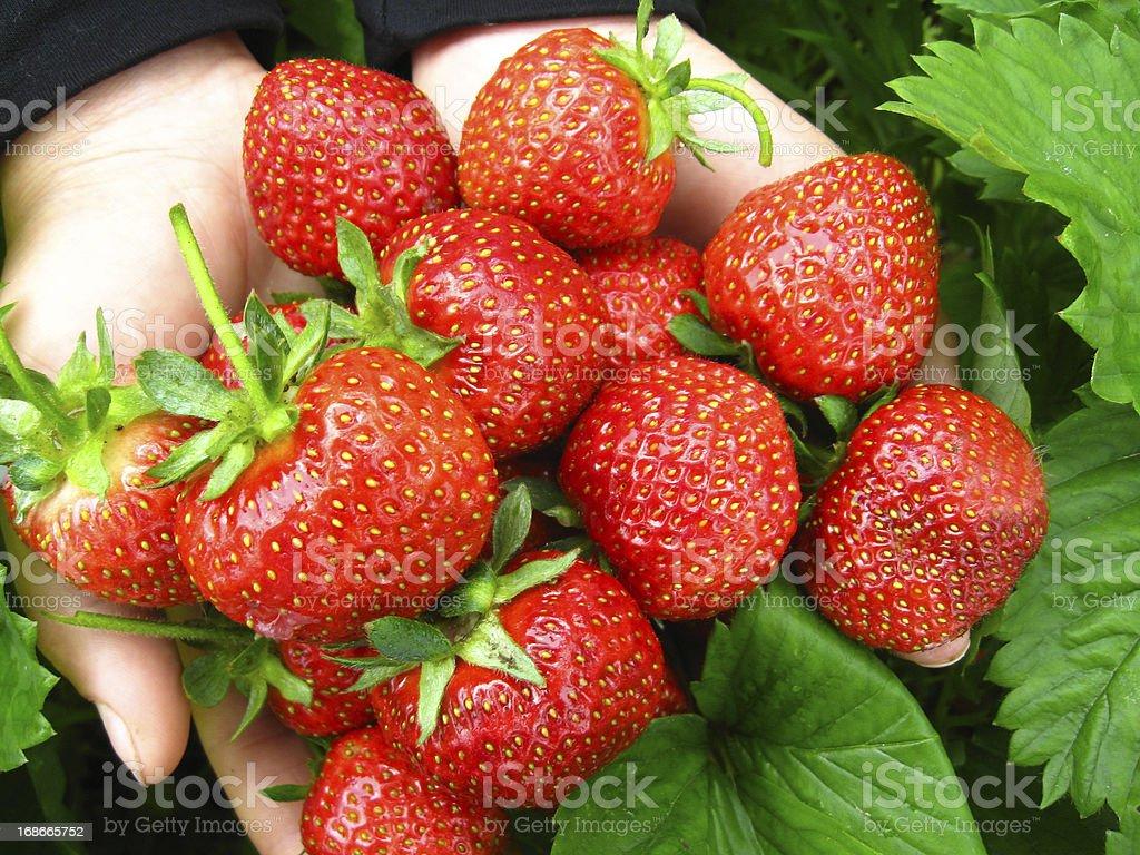 Palms full of strawberries royalty-free stock photo