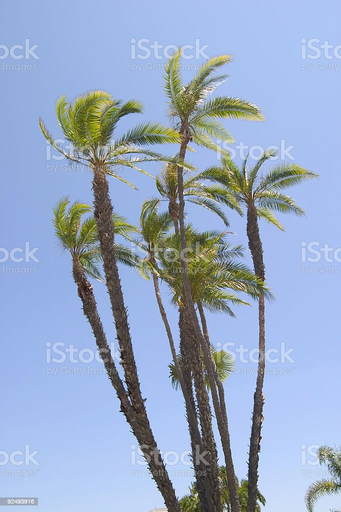 Palms in Breeze royalty-free stock photo