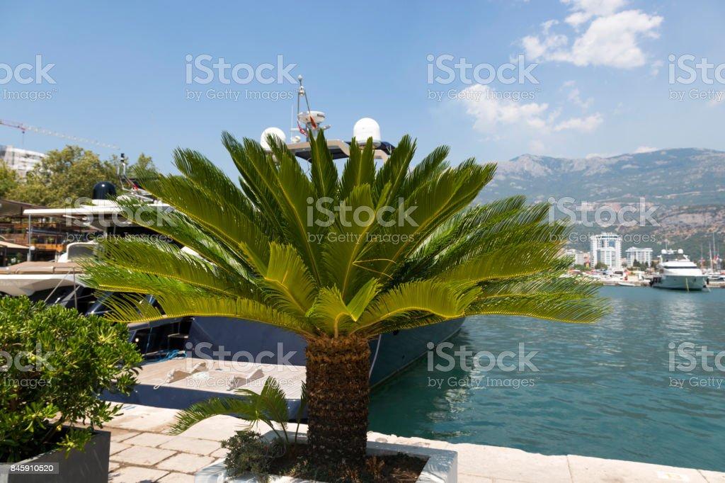 Palms on the Budva Embankment, Montenegro. stock photo