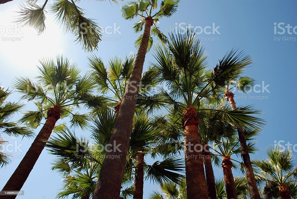 Palmtrees on the beach in Cannes royalty-free stock photo