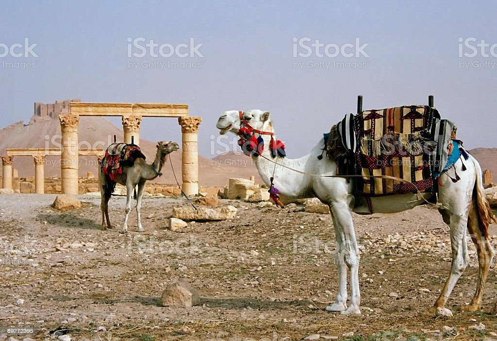 Palmyra desert ruins camels royalty-free stock photo
